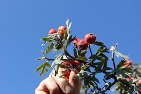 """Bitlis'in Ahlat İlçesinde 7 Yıldır Faaliyet Gösteren Gezi Ve Yürüyüş Ekibi, Bu Kez Dünyanın En Organik Meyvelerinden """"alıç""""ı Toplamak İçin Yaklaşık 20 Kilometrelik Bir Yürüyüş Düzenledi."""