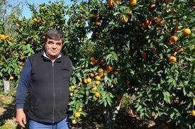 Ayvalık İlçesinde, Kısa Bir Süre Öncesinde Üreticiler Tarafından Denenmeye Başlayan Mandalina Ve Portakal Üretimi Olumlu Sonuç Verdi.