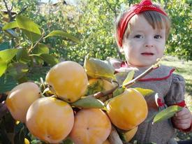 Denizli'nin Honaz İlçesinde Yetiştirilen Cennet Elması, Üreticilere 8 Milyon Tl'lik Katkı Sağlıyor.