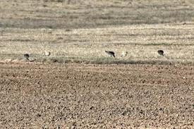 Nesli Dünya Ölçeğinde Tehlike Altında Bulunan Ve Hassas Kategorisinde Yer Alan Toy Kuşları, Yıllar Sonra Tekrar Seyfe Gölü'ne Geldi.