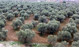 Kapıdağ Yöresinde Zeytin Üreticilerinin Merakla Beklediği Zeytin Tavan Baş Fiyatları Belli Oldu.