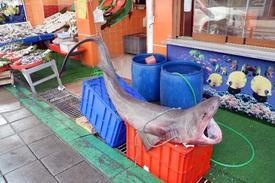 Tekirdağ'ın Marmara Ereğlisi İlçesinden Denizine Açılan Balıkçılar, 2 Metre Uzunluğunda Ve 180 Kilo Ağırlığında Bir Köpek Balığı Yakaladı.